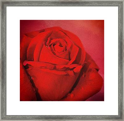 Framed Print featuring the photograph Love Is A Red Rose With Raindrops by Diane Schuster