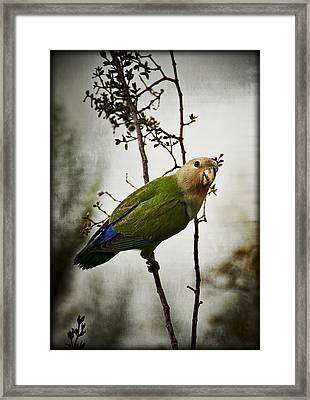 Lovebird  Framed Print