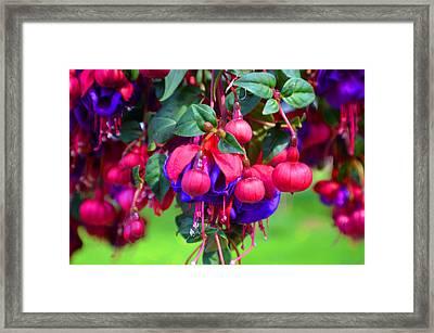 Lovelier Fushia Framed Print by Tina M Wenger