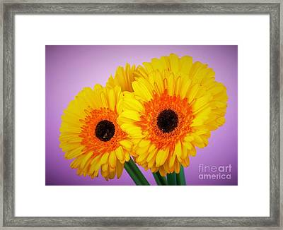 Lovely And Beautiful - Gerbera Daisies Framed Print by Ray Shrewsberry