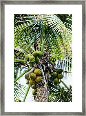 Lovely Bunch Of Coconuts Framed Print by Phyllis Taylor