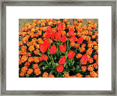 Lovely Bunch Of Tulips Framed Print by Jean Noren