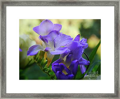 Framed Print featuring the photograph Lovely Freesia's by Lance Sheridan-Peel
