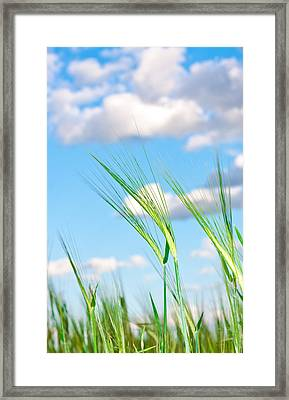 Lovely Image Of Young Barley Against An Idyllic Blue Sky Framed Print by Tom Gowanlock