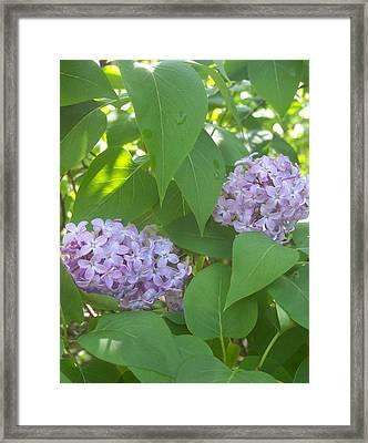 Lovely Lilacs 2 Framed Print by Anna Villarreal Garbis