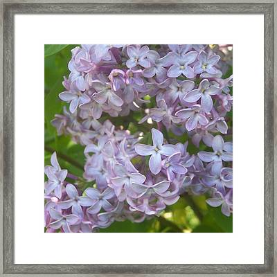 Lovely Lilacs Framed Print by Anna Villarreal Garbis