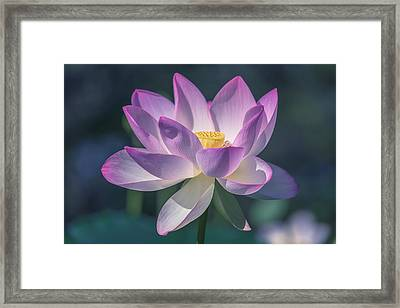 Framed Print featuring the photograph Lovely Lotus by Cindy Lark Hartman
