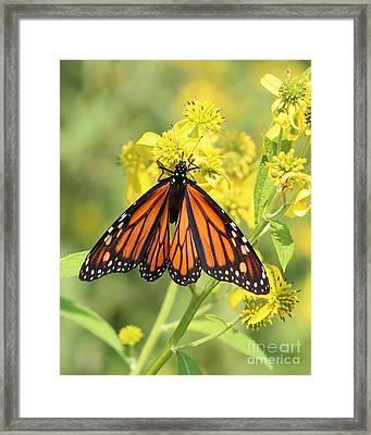 Lovely Monarch Framed Print by Anita Oakley