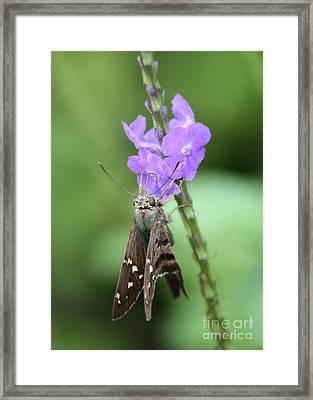 Lovely Moth On Dainty Flower Framed Print by Carol Groenen