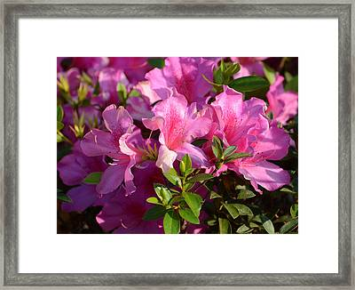 Lovely Pinks Framed Print by Zina Stromberg