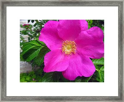 lovely rose of Texas Framed Print by Tina M Wenger