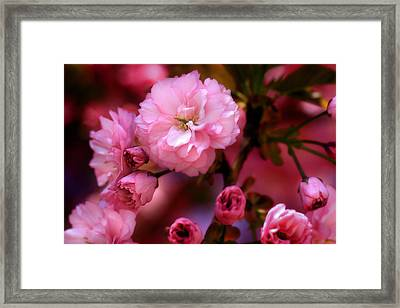 Lovely Spring Pink Cherry Blossoms Framed Print by Shelley Neff