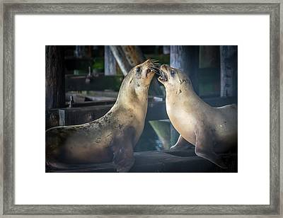 Harbor Seals Lovers Quarrel Framed Print by James Hammond