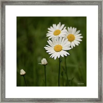 Loves Me, Loves Me Not Framed Print