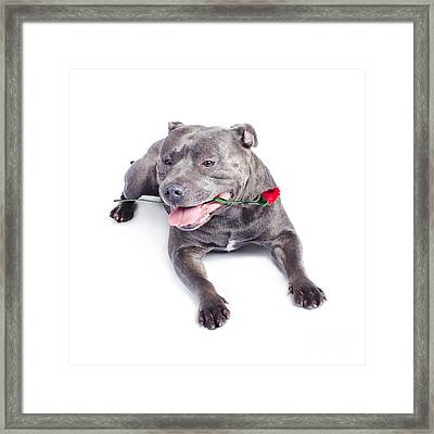 Loving Dog Carrying Red Rose In Mouth Framed Print