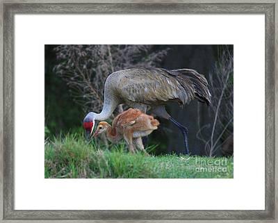 Loving Sandhill With Colt Framed Print by Carol Groenen