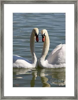 Loving Swans Framed Print