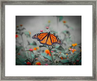 Loving The Lantana  Framed Print