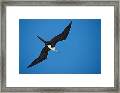 Low Angle View Of A Frigatebird Flying Framed Print by Panoramic Images