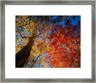 Low Angle View Of A Sycamore Tree Framed Print by Panoramic Images