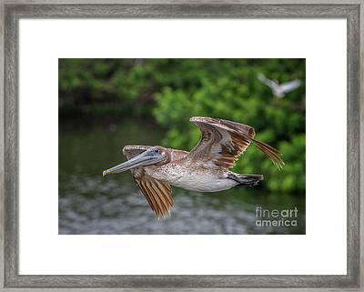 Low Pass Pelican #1 Framed Print