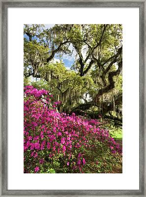 Lowcountry South Carolina Spring Azalea And Live Oak Framed Print by Mark VanDyke
