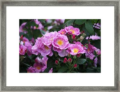 Framed Print featuring the photograph Lucky Floribunda Roses by Rona Black