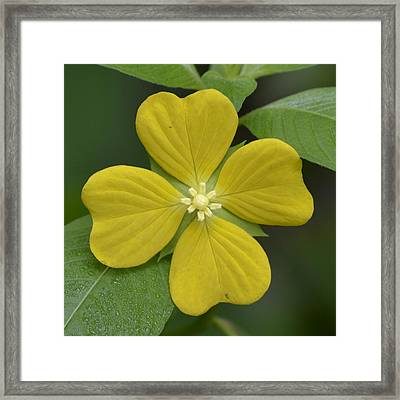 Lucky Four Leaf Flower Framed Print