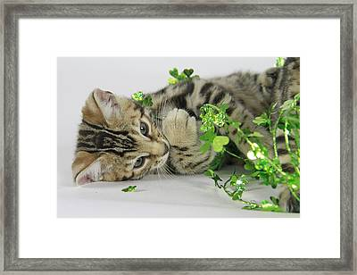 Lucky Kitten Framed Print by Shoal Hollingsworth