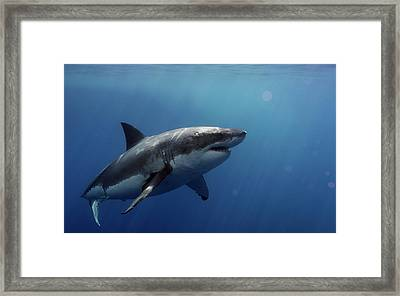 Lucy Posing At Isla Guadalupe Framed Print by Shane Linke