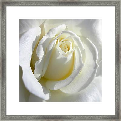 Luminous Ivory Rose Framed Print by Jennie Marie Schell