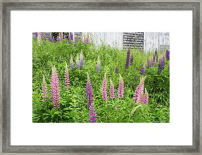 Framed Print featuring the photograph Lupine Cones And Weathered Shakes by Expressive Landscapes Fine Art Photography by Thom