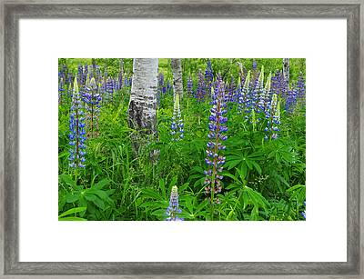 Lupine And Aspen - Maine Framed Print