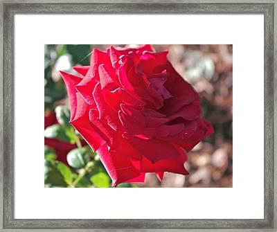 Luminous Red Rose Morning  Framed Print