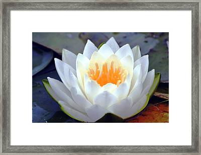 Luminous Water Lily Framed Print