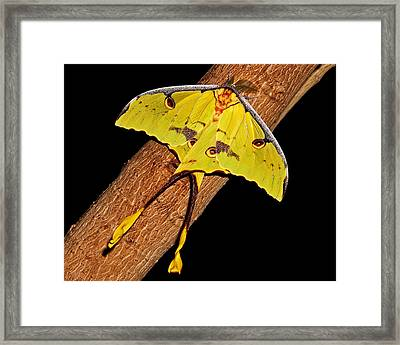 Framed Print featuring the photograph Luna Moth by Judy Vincent