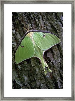 Luna Moth Framed Print by Marie Hicks