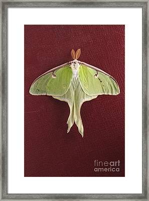 Luna Moth Over Red Leather Framed Print