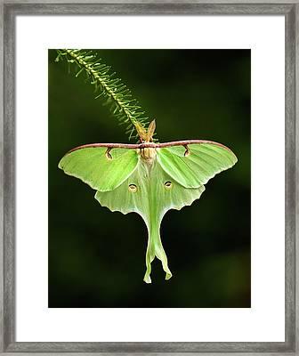 Luna Moth Spreading Its Wings. Framed Print