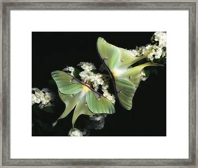Luna Moths Framed Print