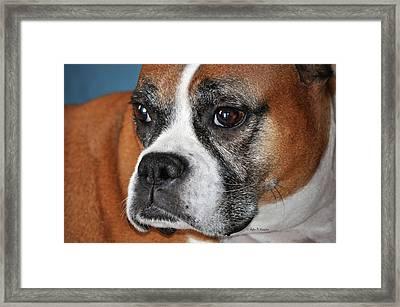 Luna The Boxer 01 Framed Print by John Knapko