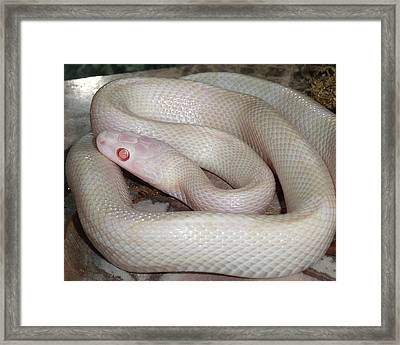Luna White Snake Framed Print by Patricia McNaught Foster