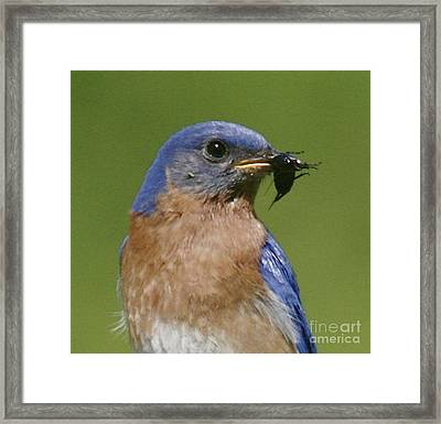 Lunch Time Blues Framed Print by Robert Pearson