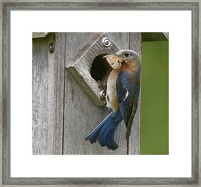Lunch Time Framed Print by Robert Pearson