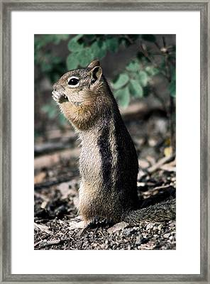 Lunchtime For Ground Squirrel Framed Print by Sally Weigand