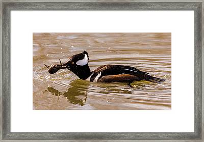 Framed Print featuring the photograph Lunchtime For The Hooded Merganser by Randy Scherkenbach