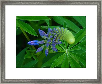 Lupin In Bloom Early Spring Framed Print by Jeremy Wolff