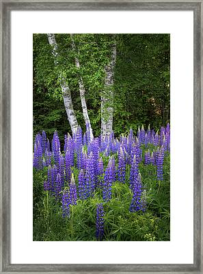 Lupine And Birch Tree Framed Print by Bill Wakeley