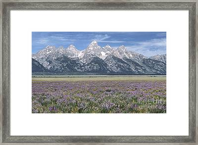 Lupine And Grand Tetons Framed Print