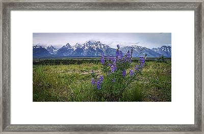Lupine Beauty Framed Print